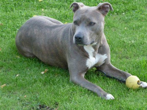 Anjing American Staffordshire Terrier Terlucu 1