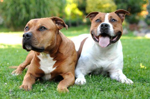Anjing American Staffordshire Terrier Terlucu 2