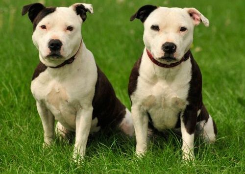 Anjing American Staffordshire Terrier Terlucu