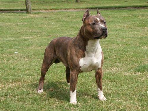 Anjing American Staffordshire Terrier Terlucu 7