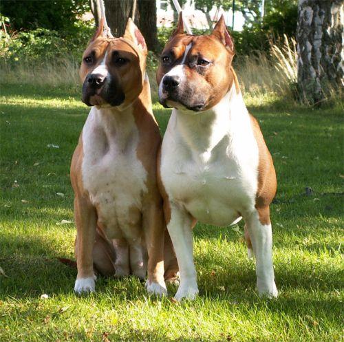 Anjing American Staffordshire Terrier Terlucu 8