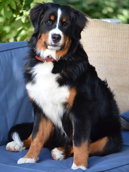 Anjing Gunung Bern 2