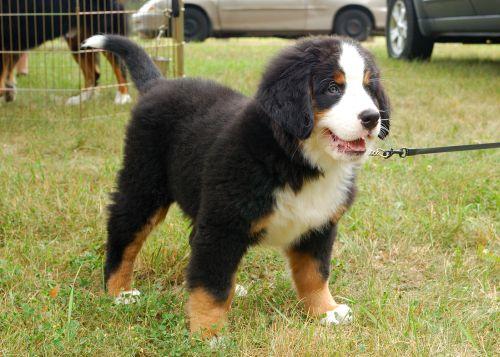 Anjing Gunung Bern 3