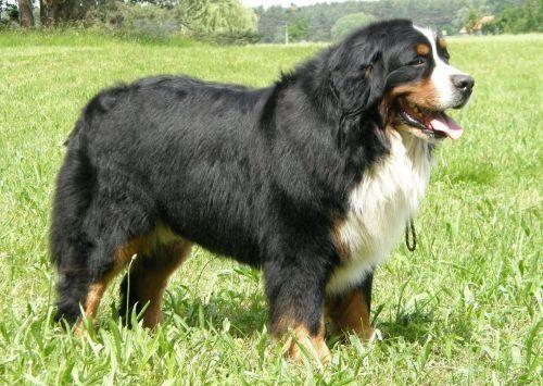 Anjing Gunung Bern