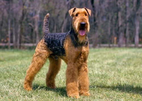 Gambar Airedale Terrier Paling Lucu