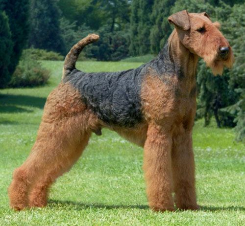 Gambar Airedale Terrier Paling Lucu 5