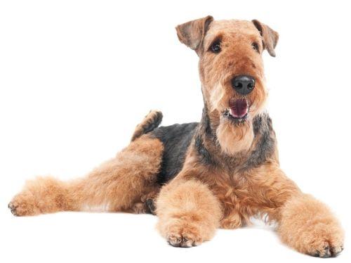 Gambar Airedale Terrier Paling Lucu 6