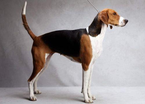 Gambar American Foxhound Paling Lucu 1