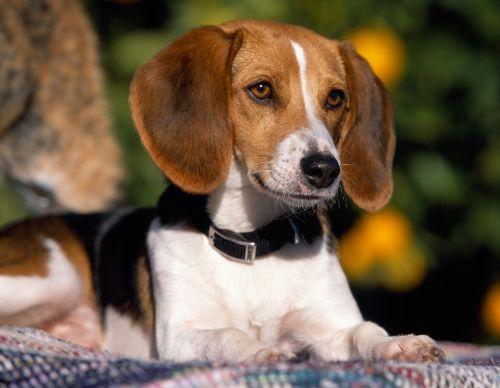Gambar American Foxhound Paling Lucu 2