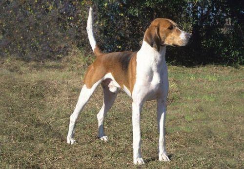 Gambar American Foxhound Paling Lucu 3