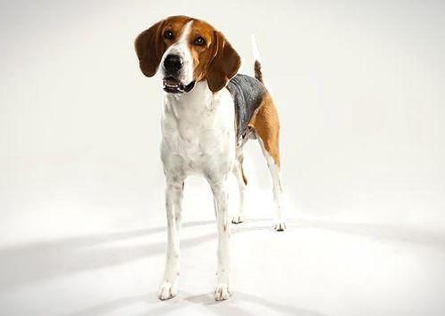 Gambar American Foxhound Paling Lucu