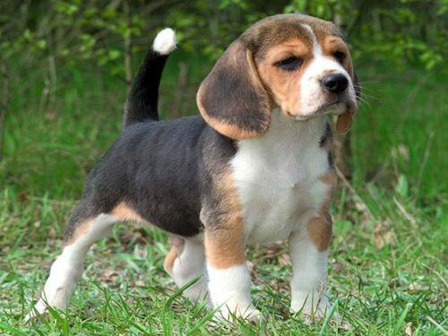 Gambar American Foxhound Paling Lucu 5