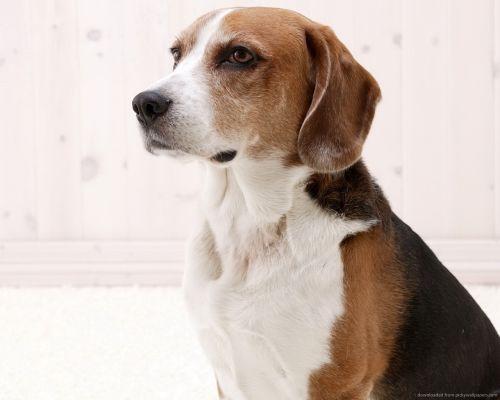 Gambar American Foxhound Paling Lucu 6