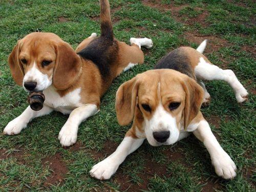 Gambar American Foxhound Paling Lucu 7