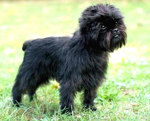 Gambar Anjing Affenpinscher Paling Lucu 1