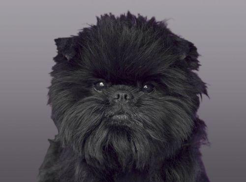 Gambar Anjing Affenpinscher Paling Lucu 2