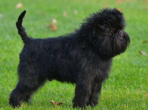Gambar Anjing Affenpinscher Paling Lucu 3