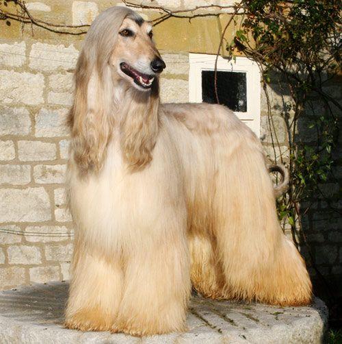 Gambar Anjing Afghan Hound Paling Lucu 1