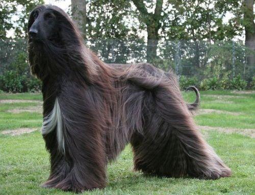 Gambar Anjing Afghan Hound Paling Lucu 2
