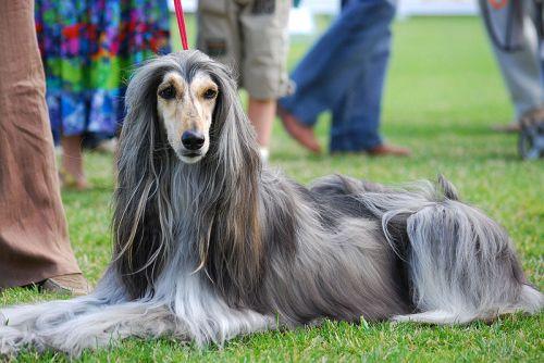 Gambar Anjing Afghan Hound Paling Lucu 3