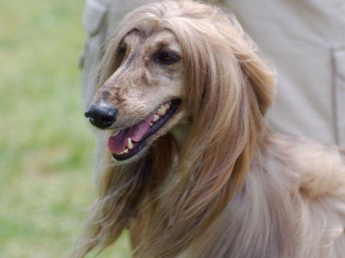 Gambar Anjing Afghan Hound Paling Lucu 4