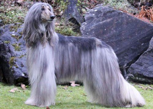 Gambar Anjing Afghan Hound Paling Lucu