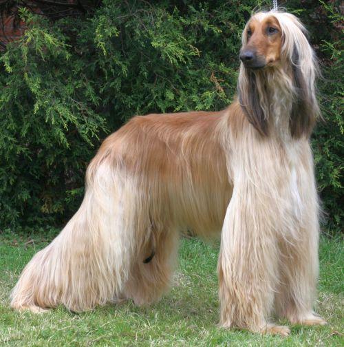 Gambar Anjing Afghan Hound Paling Lucu 6