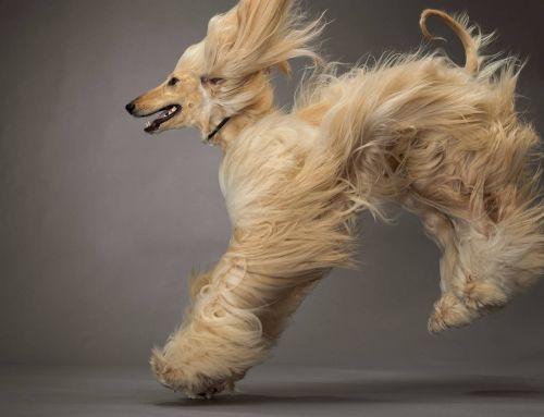 Gambar Anjing Afghan Hound Paling Lucu 7