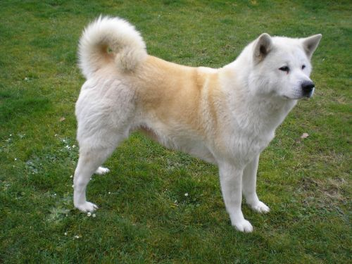 Gambar Anjing Akita Paling Lucu 2