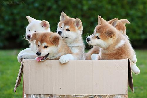 Gambar Anjing Akita Paling Lucu 6