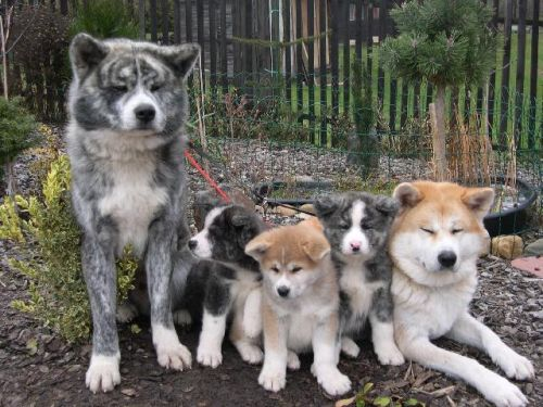 Gambar Anjing Akita Paling Lucu 7