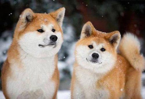 Gambar Anjing Akita Paling Lucu 8