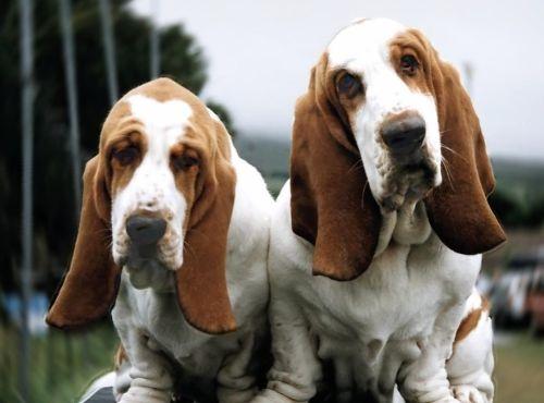 Gambar Anjing Basset1