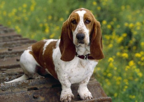 Gambar Anjing Basset2