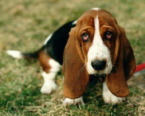 Gambar Anjing Basset5