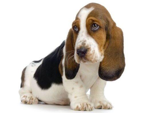 Gambar Anjing Basset6