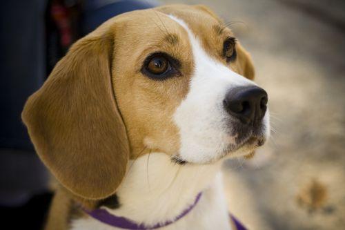 Gambar Anjing Beagle 1