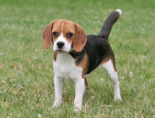 Gambar Anjing Beagle 2