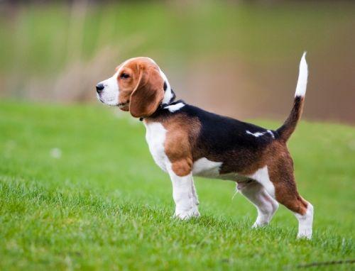 Gambar Anjing Beagle 3