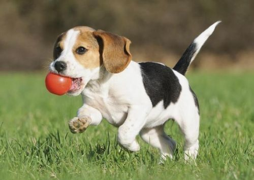 Gambar Anjing Beagle