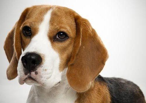 Gambar Anjing Beagle 5