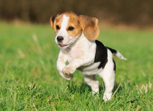 Gambar Anjing Beagle 6