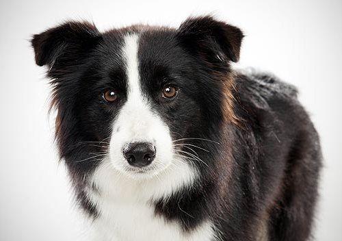Gambar Anjing Border Collie 1