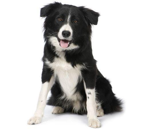 Gambar Anjing Border Collie 3