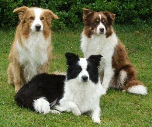 Gambar Anjing Border Collie 4