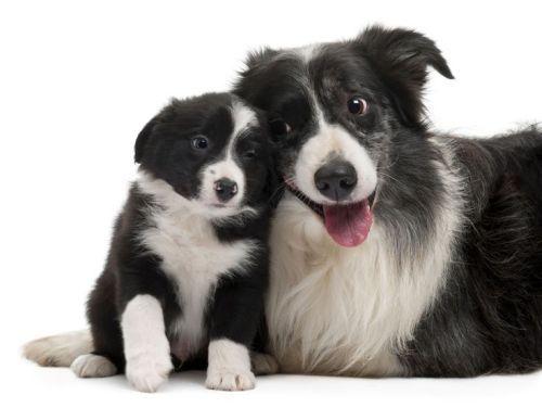 Gambar Anjing Border Collie 5