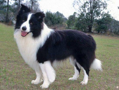 Gambar Anjing Border Collie 6
