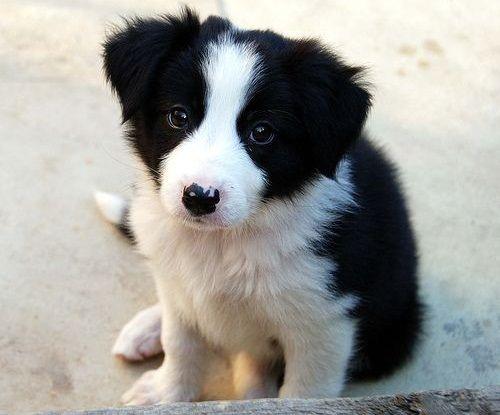 Gambar Anjing Border Collie 7