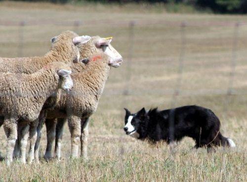 Gambar Anjing Border Collie 8