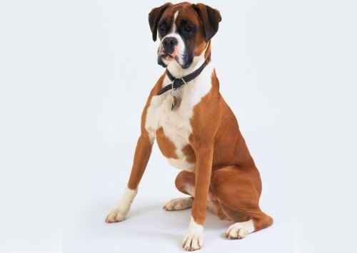 Gambar Anjing Boxer
